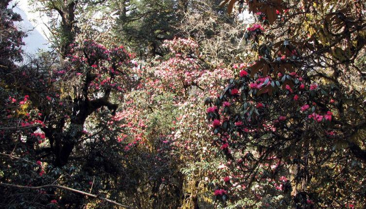 Manaslu Rhododendrons Forest